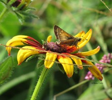 1 - 1 - 2015 skipper on black-eyed susan tongue curled