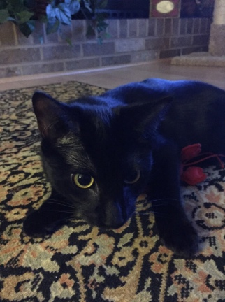 Raven with lobster (black cat with stuffed lobster toy)