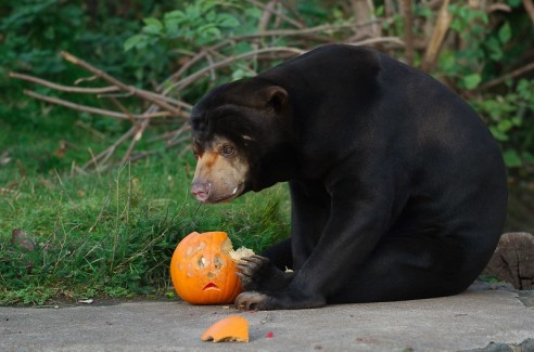 Sun bear and pumpkin by Magnus Hagdorn